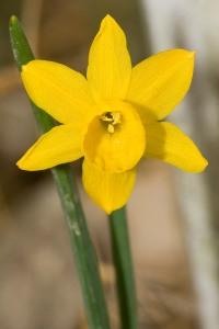 Narcissus.calcicola.7114